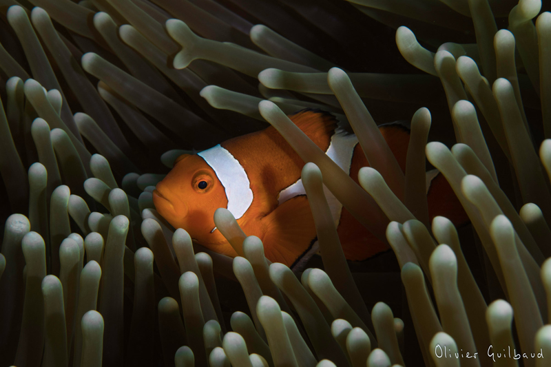 Philippines-300485 Amphiprion ocellaris ps.jpg