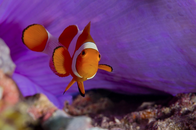 Poisson clown - Amphiprion ocellaris - Raja Ampat.jpg
