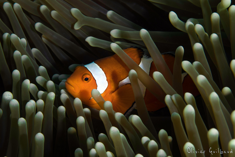 Philippines-300485-Amphiprion-ocellaris ps.jpg